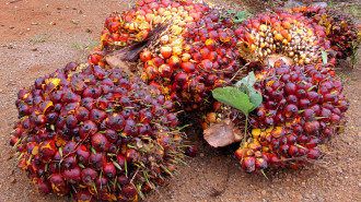 THAILAND: Firm on Protecting the Palm Oil Sector