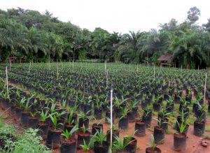 Palm oil seedlings are cultivated Photo: Kornchanok Raksaseri