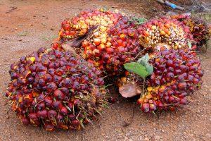 Oil palms are harvested Photo: Kornchanok Raksaseri