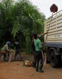 Farmers harvest palm Photo: Kornchanok Raksaseri