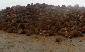 Palm oil is seen after harvest Photo: