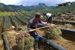 Shallot farmers in Argapura, Majalengka in West Java. Photos: K Dursin
