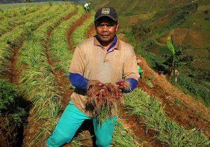 Farmer in Argapura, a shallot-producing hub of Indonesia.